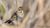 Common Reed Bunting - Emberiza schoeniclus - Bataklık kirazkuşu