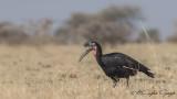 Abyssinian Ground Hornbill - Bucorvus abyssinicus - Habeş yer boynuzgagası