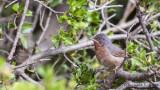 Subalpine Warbler - Sylvia cantillans - Bıyıklı ötleğen