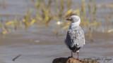 Grey-headed Gull - Chroicocephalus cirrocephalus - Gri başlı martı