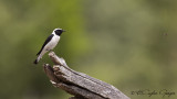 Black-eared Wheatear - Oenanthe hispanica - Karakulaklı kuyrukkakan