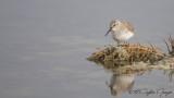 Dunlin - Calidris alpina - Karakarınlı kumkuşu