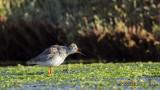 Common Redshank - Tringa totanus - Kızılbacak