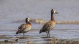 White-faced Whistling Duck - Dendrocygna viduata - Ak yüzlü ıslıkçı ördek