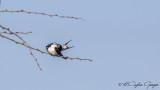 White-tailed Swallow - Hirundo megaensis