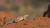 Unstriped Ground Squirrel - Xerus rutilus