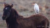 Western Cattle Egret - Bubulcus ibis - Sığır balıkçılı