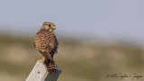 Common Kestrel - Falco tinnunculus - Kerkenez