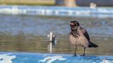 Hooded Crow - Corvus cornix - Leş kargası