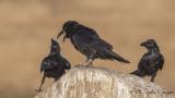 Northern Raven - Corvus corax - Kuzgun