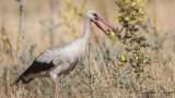 White Stork - Ciconia ciconia - Leylek