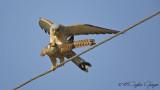 Lesser Kestrel - Falco naumanni - Küçük kerkenez