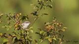 Lesser Whitethroat - Sylvia curruca - Küçük akgerdanlı ötleğen