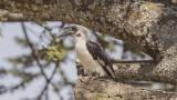 Von der Decken's Hornbill - Tockus deckeni - Kara gözlü boynuzgaga