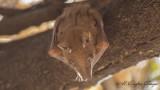 East African Epauletted Fruit Bat - Epomophorus minimus - Doğu Afrika Apoletli Meyve Yarasası