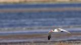 Caspian Gull - Larus cachinnans - Hazar martısı