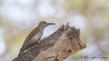 Eastern Grey Woodpecker - Dendropicos spodocephalus