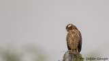 Grey-faced Buzzard - Butastur indicus - Gri yüzlü şahin