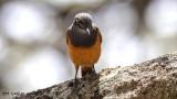 Little Rock Thrush - Monticola rufocinereus - Küçük taşkızılı