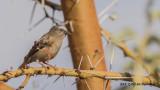 Grey-capped Social Weaver - Pseudonigrita arnaudi - Gri başlıklı dokumacı