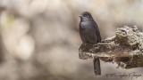 Northern Black Flycatcher - Melaenornis edolioides