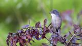 Sardinian Warbler - Sylvia melanocephala - Maskeli ötleğen