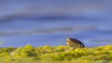 Grass Snake - Natrix natrix - Yarı Sucul Yılan - Küpeli Yılan