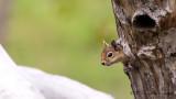 Caucasian Squirrel - Sciurus anomalus - Sincap