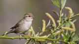 House Sparrow - Passer domesticus - Serçe