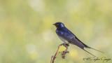 Barn Swallow - Hirundo rustica - Kır kırlangıcı