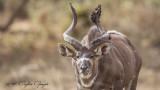 Mountain Nyala - Tragelaphus buxtoni