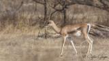 Grant's Gazelle - Gazella granti