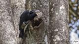 Silvery-cheeked Hornbill - Bycanistes brevis - Ak yanaklı boynuzgaga