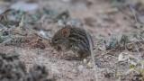 Typical Striped Grass Mouse - Lemniscomys striatus