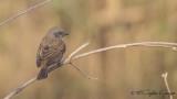 Swainson's Sparrow - Passer swainsonii