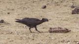 Thick-billed Raven - Corvus crassirostris