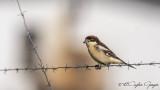 Woodchat Shrike - Lanius senator - Kızılbaşlı örümcekkuşu