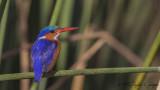 Malachite Kingfisher - Corythornis cristatus