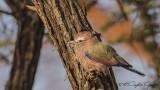 Purple Roller - Coracias naevius