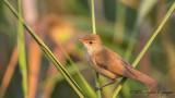 Eurasian Reed Warbler - Acrocephalus scirpaceus - Saz kamışçını