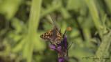 Chequered skipper - Carterocephalus palaemon - Sarı Benekli Zıpzıp