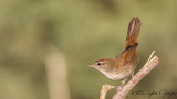 Cetti's Warbler - Cettia cetti - Kamışbülbülü
