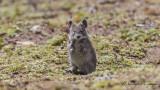 Blick's Grass Rat - Arvicanthis blicki
