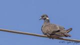 White-collared Pigeon - Columba albitorques