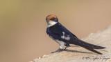 Wire-tailed Swallow - Hirundo smithii - Tel kuyruklu kırlangıç