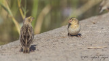 Yellow-crowned Bishop - Euplectes afer