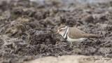 Three-banded Plover - Charadrius tricollaris - Üç halkalı cılıbıt