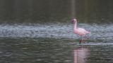 Lesser Flamingo - Phoeniconaias minor - Küçük flamingo