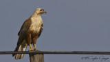 Long-legged Buzzard - Buteo rufinus - Kızıl şahin