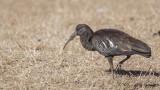 Wattled Ibis - Bostrychia carunculata - Sakallı aynak
